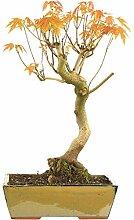 Silber-Ahorn, Bonsai, 15 Jahre, 57cm