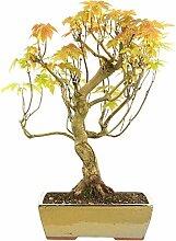 Silber-Ahorn, Bonsai, 15 Jahre, 61cm