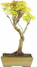Silber-Ahorn, Bonsai, 15 Jahre, 62cm