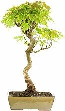 Silber-Ahorn, Bonsai, 15 Jahre, 68cm
