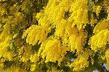 Silber Akazie (Falsche Mimose) -Acacia dealbata-