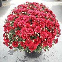 Sioneit Mehrjährige Bonsai Mini Chrysantheme