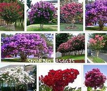 Skeleton Blumen Samen 100pcs Astilboides tabularis Bonsai seltene exotische Pflanze Wasser wird transparent Interesse