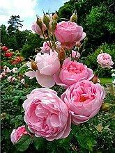SKSK 5D Diamant Malerei rosa Rose voller Diamant