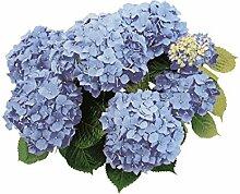 Smile P1766Beautiful Tiles Decora Fliesen, Hortensien hellblau