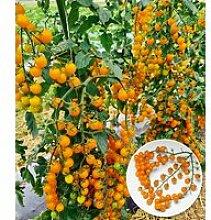 Snack-Tomate 'Perlino gelb'