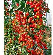Snack-Tomate 'Perlino rot'