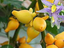 Solanum mammosum - Titty oder Nippel Obst -