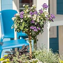 Solanum Rantonetti | Nachtschatten Kübelpflanze |