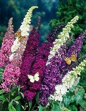 Sommerflieder-Sortiment 3 Stück: je eine Pflanze