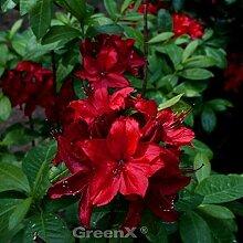 Sommergrüne Azalee Feuerköpfchen 40-50cm -