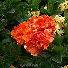 Sommergrüne Azalee Goldköpfchen 40-50cm -