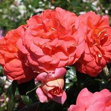 Sommersonne® ADR Rose Beetrose