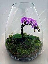 SONIRY 100 PC/Bag Mini-Orchideen
