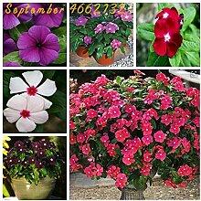 SONIRY 100 PC Periwinkle Bonsai Blumen Mix Vinca