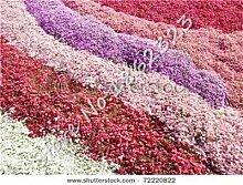 SONIRY 200 Stück Creeping Thyme Bonsai Blumen