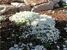 SONIRY 200Pcs arabis Bonsai Blume Felsen-Kresse