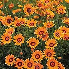 Sonnenbraut Autumnale- (Helenium Autumnale) - 50
