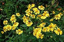 Sonnenbraut, Helens FLOWER, gelbe Blume niesen