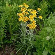 Sonnenbraut hoopesii (Helenium hoopesii) - 50 Samen