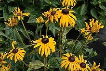 Sonnenhut 'Goldsturm' - Rudbeckia fulgida
