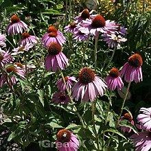 Sonnenhut Augustkönigin - Echinacea purpurea