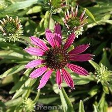 Sonnenhut Dixie Belle - Echinacea purpurea