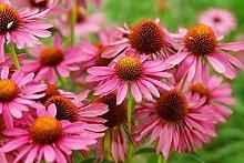 Sonnenhut Echinacea purpurea Primadonna® 20 Samen