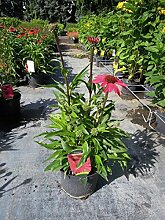 Sonnenhut Glowing Dream Staude rosa blühend Beetstaude Sonne Echinacea purpurea im 3 Liter Topf 1 Pflanze