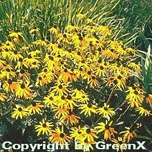 Sonnenhut Goldsturm - großer Topf - Rudbeckia