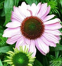 Sonnenhut Hope - Echinacea purpurea