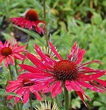 Sonnenhut Hot Summer - Echinacea purpurea
