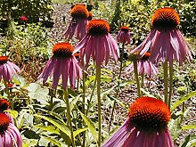 Sonnenhut, purpurrote Blume, Echinacea, 75 Samen