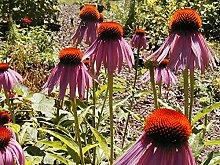 Sonnenhut, purpurroter Blume, Echinacea, 305