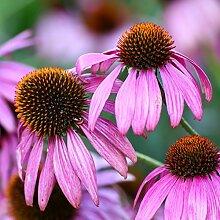 Sonnenhut Samen - Echinacea purpurea