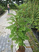 Sorbus aucuparia Autumn Spire (R) -