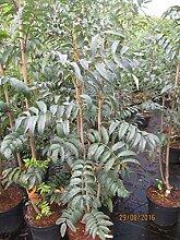 Sorbus aucuparia Fingerprint - Eberesche Fingerprin