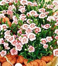 Soteer Garten - 100 Stück Dianthus