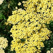 Soteer Garten - 100 Stück Goldgelb blühende
