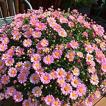 Soteer Garten - 100pcs Herbst-Chrysantheme Samen
