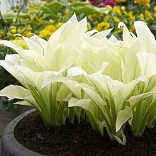 Soteer Garten - 50 Stück Riesen Funkie Samen