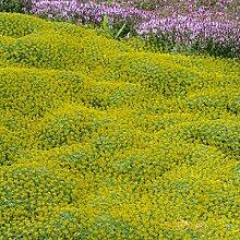 Soteer Garten - Argentinien Andenpolster Samen