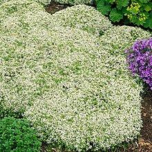 Soteer Garten - Schleichende Thymian Bodendecker