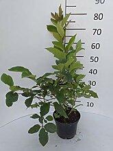 Späth Bogenflieder LH 80-100 cm im 7,5 Liter Topf