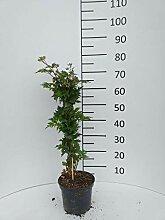 Späth Brombeere 'Thornless Evergreen'