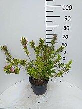 Späth Buntblättr.Weigelie Heckenpflanze blühend
