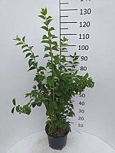 Späth Duftend.Bauernjasmin LH 60-80 cm im 7,5