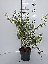 Späth Duftjasmin 'Erectus' LH 60-80 cm im