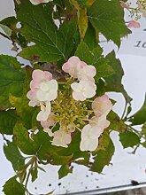 Späth Eichenblättr.Hortensie 'Snowflake'