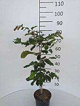 Späth Eisenbaum LH 40-60 cm im 3 Liter Topf